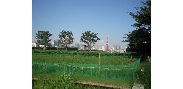 六本木ヒルズは、TOHOシネマズなどが入るけやき坂コンプレックスの屋上、地上45mに庭園がある。景色が最高! 東京タワーも