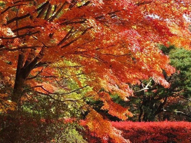 軽井沢レイクガーデン(写真の紅葉はイロハモミジ)