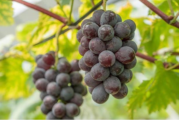 【写真】たわわに実ったブドウをもぎたてで楽しむ贅沢さ!