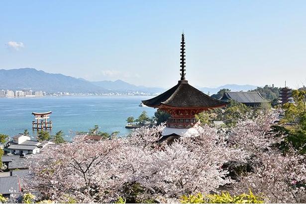 春の嚴島神社一帯。約1300本のサクラが咲き誇る