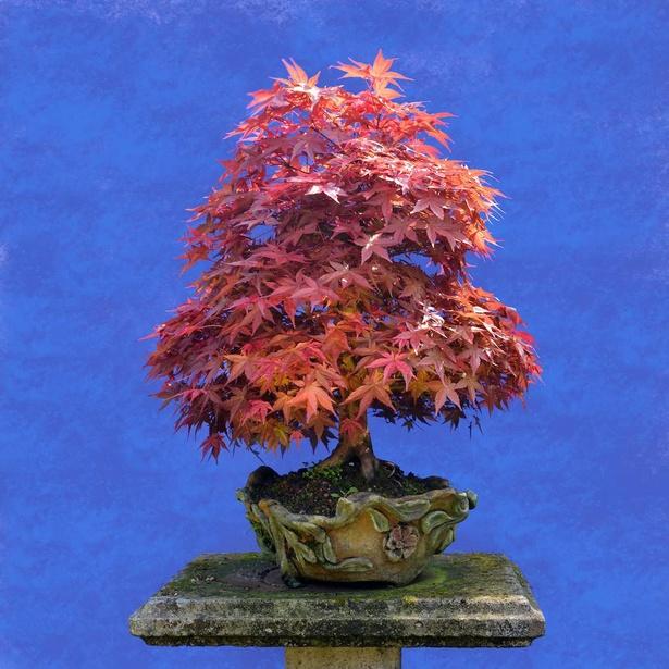 【写真】紅葉したモミジの盆栽