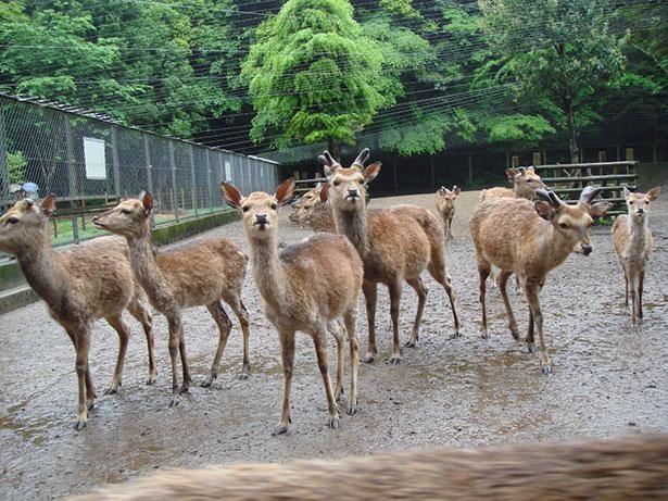 奥参道横の鹿園では約20頭の神鹿が大切にされている