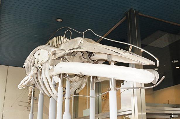 館の入口に展示されている巨大なカツオクジラの骨