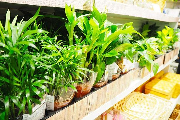 ミニ観葉植物は種類も豊富