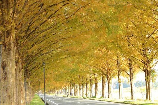 約500本のメタセコイアと直線道路が造り出す絶景 / 1位:メタセコイア並木(滋賀県)