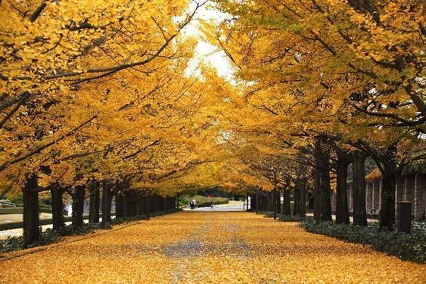 道を埋め尽くすイチョウの葉 / 3位:国営昭和記念公園(東京都)