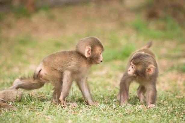 嵐山モンキーパークいわたやまでは、春になると子猿たちの姿が見られる