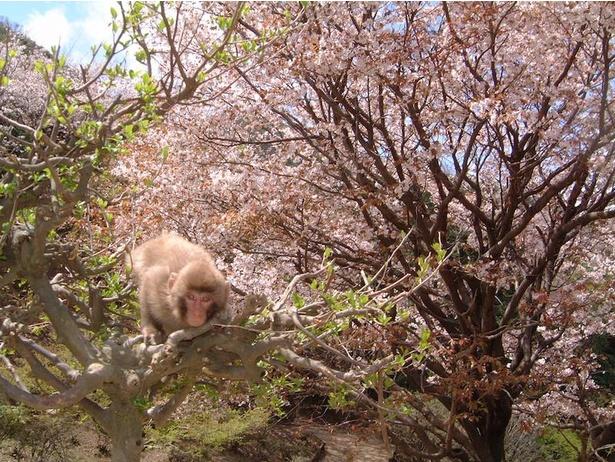 春にはお花見を楽しみながら猿たちと交流できる