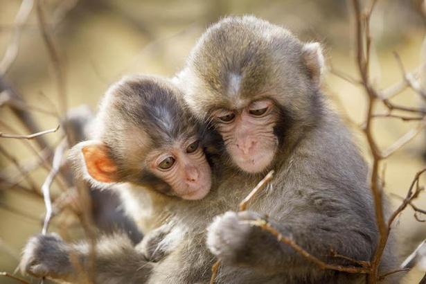 春に見ることができる母猿と子猿の姿