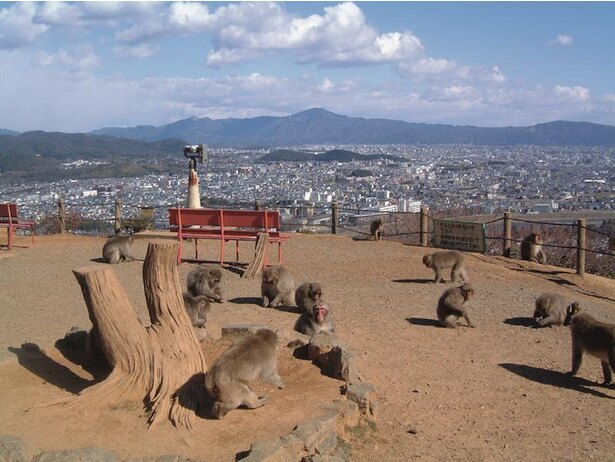 山頂ではエサやりが行われ、多くの猿が集まるスポットになっている