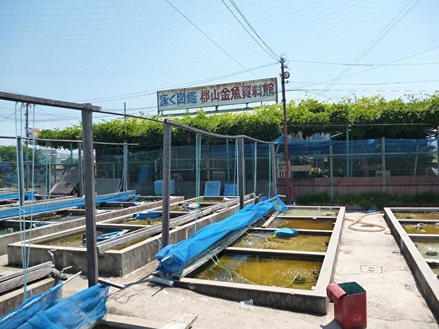 養殖池ごとにいろいろな色や形の金魚が見られる