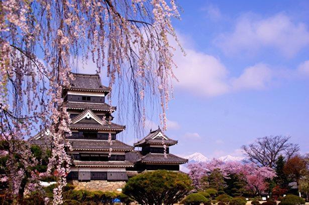 残雪の北アルプスを背景にした松本城の桜景色は格別