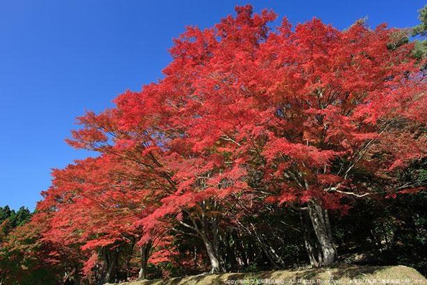 紅葉の名所としても知られる扇谷。真っ赤に色づくカエデが見事