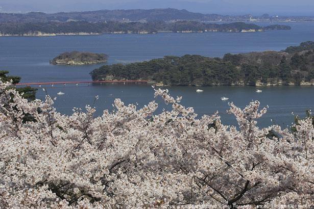 多くのソメイヨシノが咲き桜の名所としても知られる「西行戻しの松公園」