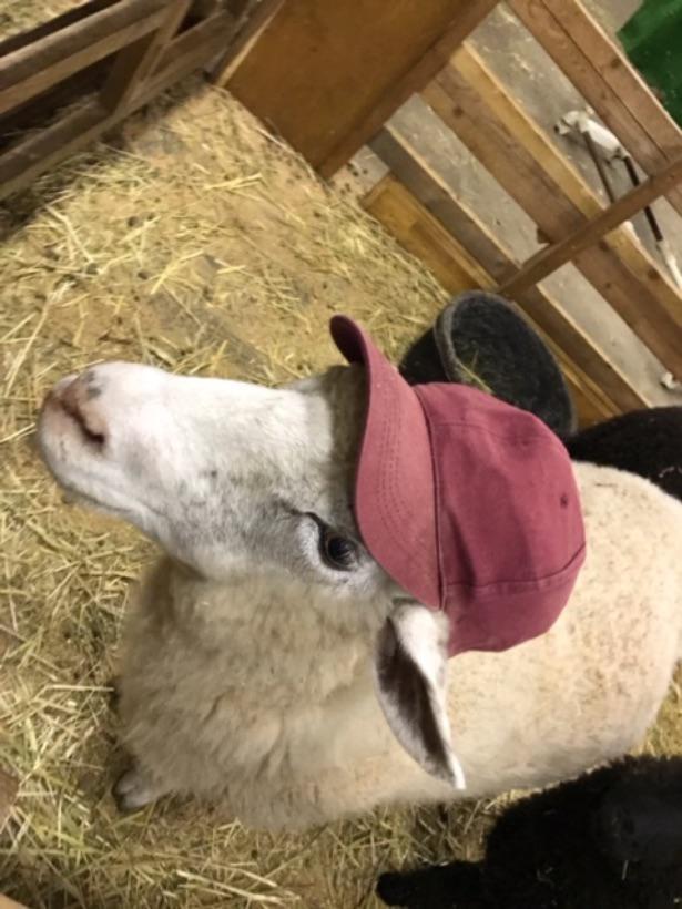 ヒツジとヤギを一緒に放牧。エサやり体験ができる