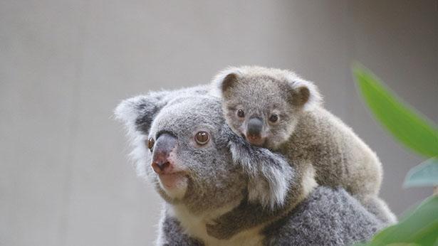 【写真】最近お母さんのお腹の中から出てくるようになった、コアラの赤ちゃんが愛おしい / 東山動植物園