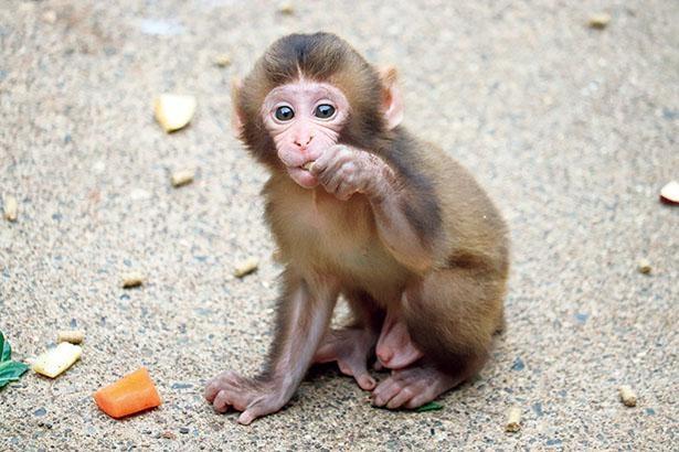 ニホンザルの赤ちゃんが、小さな手でニンジンを持ち、口いっぱいにほおばっている姿に心が和む / 浜松市動物園