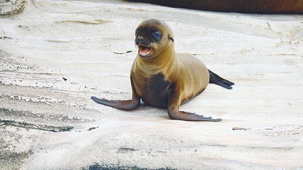 無邪気に遊ぶカリフォルニアアシカの姿から目が離せない! / 東山動植物園