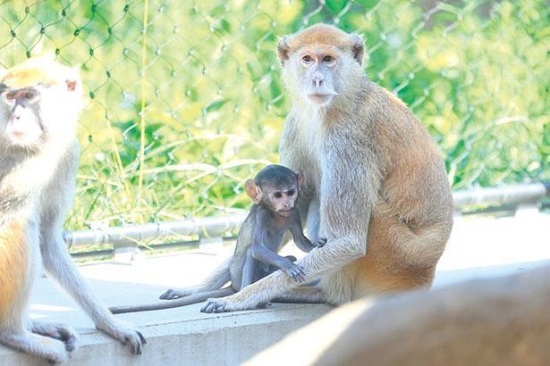 パタスザルは、旺盛で活発な赤ちゃんをファミリーで見守りながら子育てを行っている / のんほいパーク 豊橋総合動植物園