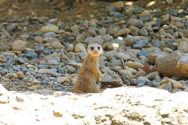 ほかの群れの子供たちもみんなで世話をする、哺乳類としては珍しいミーアキャット生態にも注目! / のんほいパーク 豊橋総合動植物園