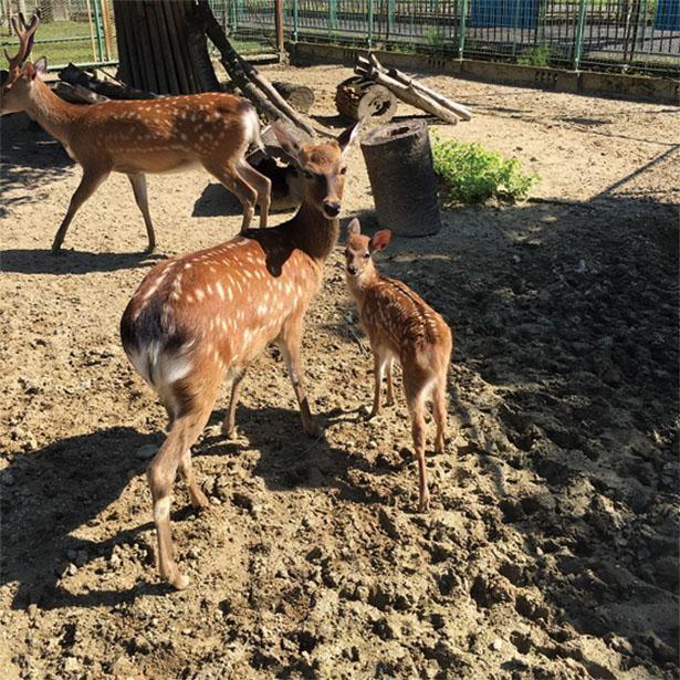 二ホンジカの赤ちゃんは、お母さんにくっついて歩く姿がとってもかわいい / 鞍ヶ池公園