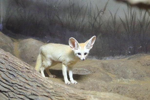 フェネックギツネの赤ちゃんに会いに行くときは、間近でエサを食べる姿が見られる、10:30~11:00の来館がおすすめ / のんほいパーク 豊橋総合動植物園