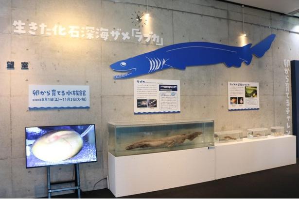 深海ザメのラブカについての紹介や、繁殖についての説明が掲載されている