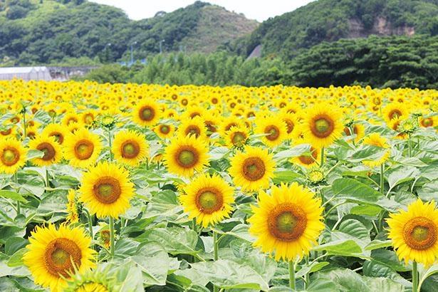 観光農園花ひろば(愛知県南知多町)