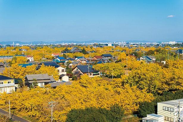 祖父江のイチョウ(愛知県稲沢市)