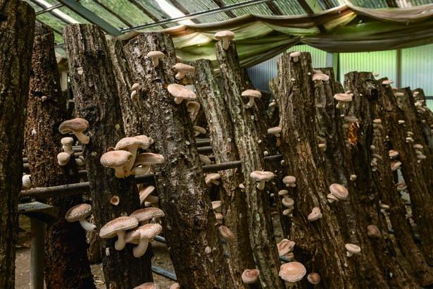 園内のハウスでシイタケ狩り。肉厚を選んで専用のかごいっぱいに摘み取ろう。シイタケ狩りのみ(1500円)もOK/仲しい茸園