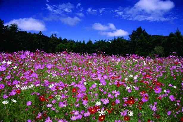 30年前に花の愛好家が始めたコスモス園。園内にはベンチもあり、のんびりと観賞できる/とよのコスモスの里