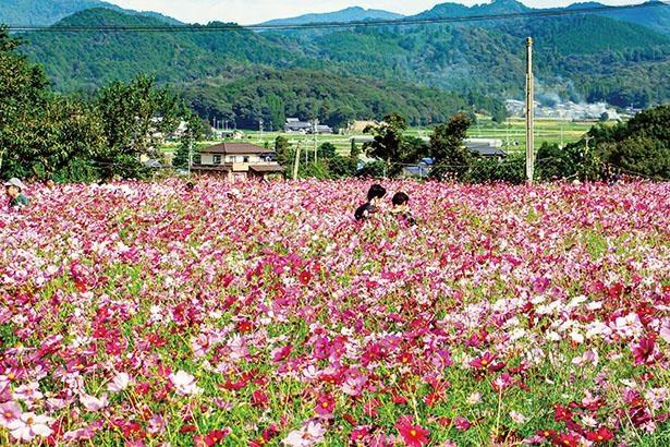 コスモスの小径(愛知県新城市)