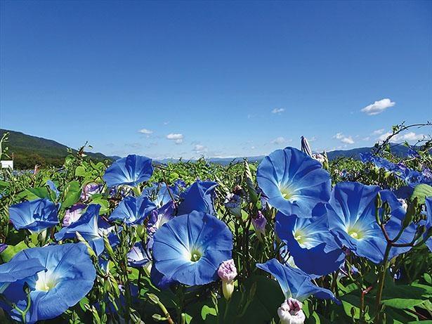 ヘブンリーブルーの花畑(長野県箕輪町)