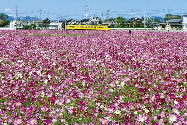 東員町のコスモス畑(三重県東員町)
