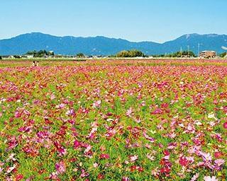 【写真特集】この秋見たい東海エリアの花絶景!一面に広がるコスモスから、季節外れの珍しいヒマワリまで
