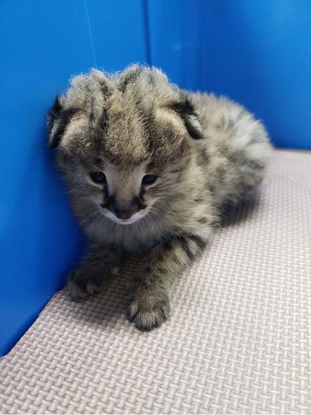 【写真】生後10日頃の赤ちゃん。目はようやく開いてきたが、特徴の耳は垂れたまま