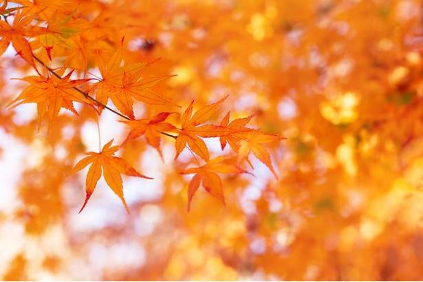 日本人に最も親しまれているイロハモミジ