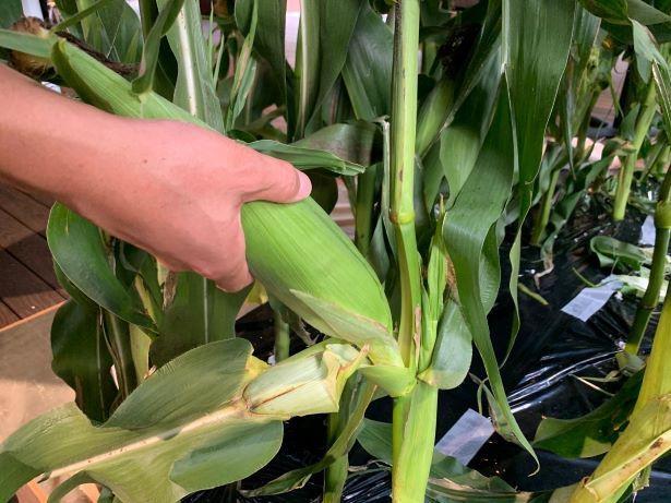 通常は1本の株から1本のトウモロコシを収穫