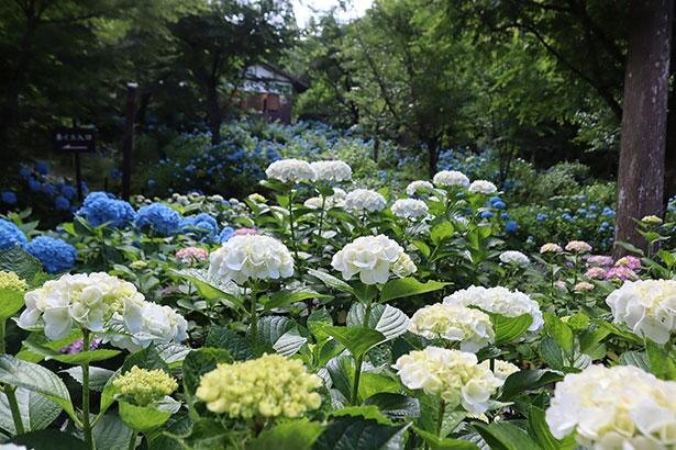 紫陽花の見どころとしても名高い三千院