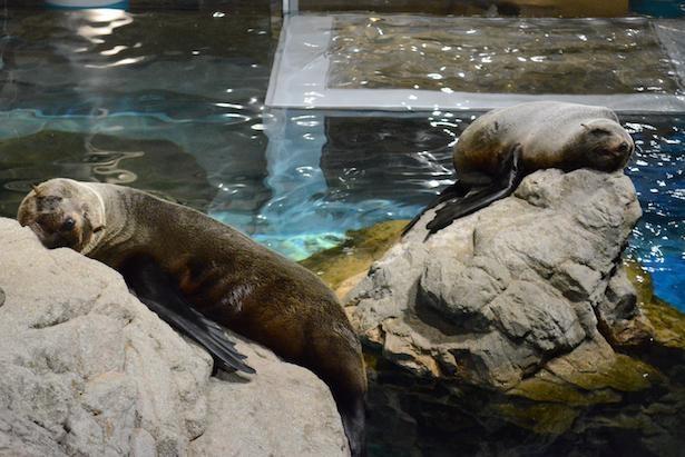 眠るオットセイが見られるのも夜の水族館ならでは!