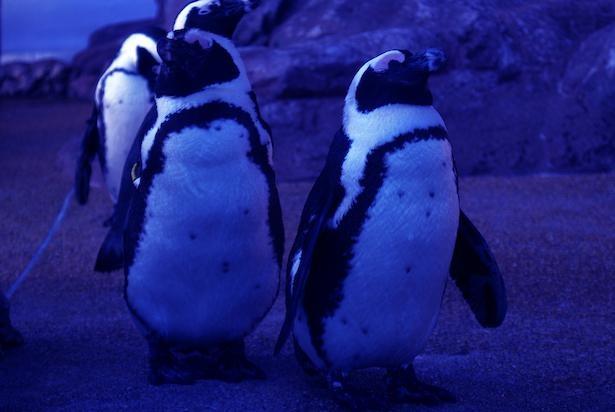 10月からはペンギンがペアで仲よく眠る姿も見られる
