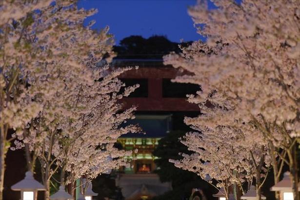 【写真】段葛では灯篭やライトアップされた夜桜も楽しめる