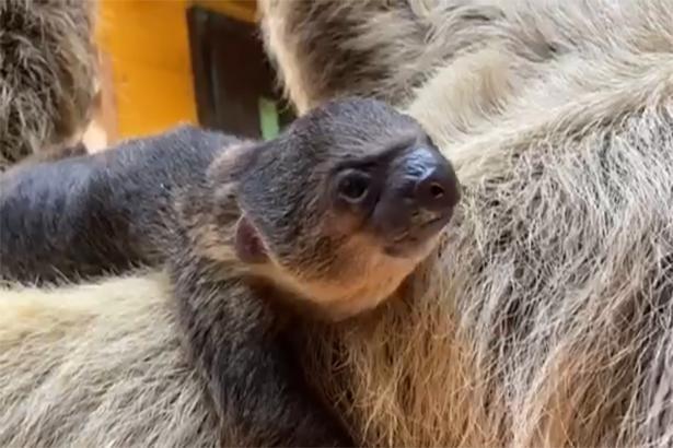 珍しいナマケモノの赤ちゃんを見られる貴重な機会