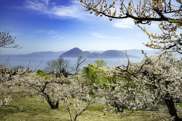 壮瞥公園の桜