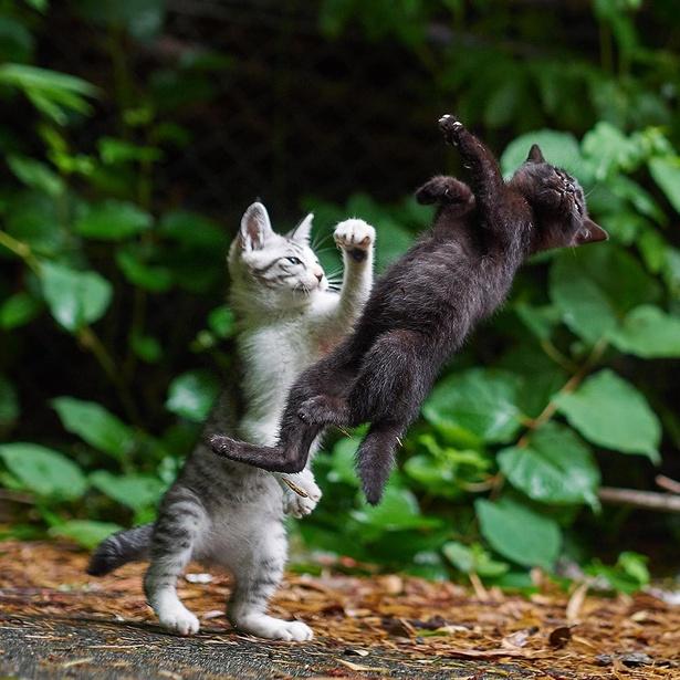 「サバトラがアッパーで黒ネコを吹き飛ばしているように見えますが、実際は同時に猫じゃらしを追いかけた瞬間が重なっただけ。2匹以上同時に猫じゃらしを追うのは、子ネコかつ兄弟ネコであることが必須条件。貴重な一枚が撮れました」