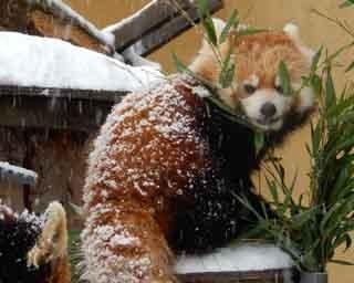 旭山動物園・冬のレッサーパンダ
