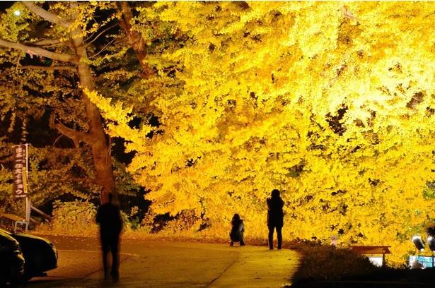 【写真】金色に輝く大イチョウを撮影する人も多い