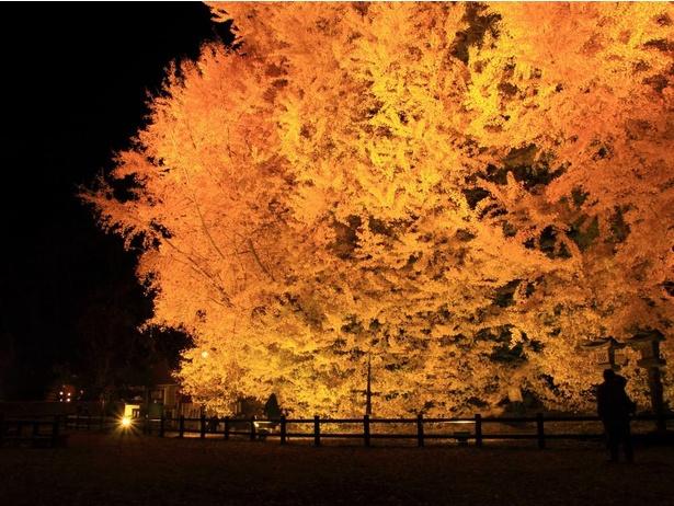 高さ約31メートルの大イチョウがライトアップされる『日本一の大イチョウ・ライトアップ「ビッグイエロー2020」』