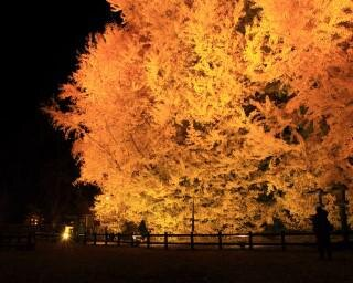 暗闇の中で金色に輝く!青森県西津軽郡で『日本一の大イチョウ・ライトアップ「ビッグイエロー2020」』が開催中