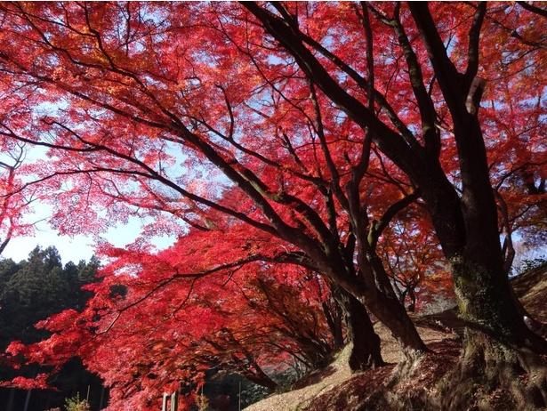 【写真】公園内ではたくさんの紅葉が見られる